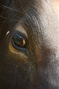 Cow eye close up of in cattle breeding Stock Image