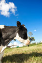 Cow in a farm Royalty Free Stock Photos