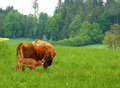 Cow in farm cows on field summer time Royalty Free Stock Photography