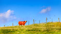 Cow on a farm lone standing near fence the in central kentucky Royalty Free Stock Photography