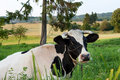 Cow on a farmland Stock Photo
