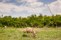 Cow in farmland asian tropical field Stock Images