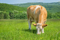 Cow feeding on pasture Royalty Free Stock Photo