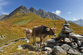 Cow at the feet of the mountains alpine Royalty Free Stock Image