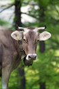 Cow in a field Royalty Free Stock Images
