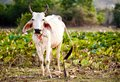 Cow on the field Royalty Free Stock Photography