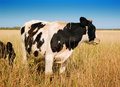 Cow in Field Stock Image