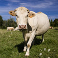 Cow in the field brittany france Royalty Free Stock Images