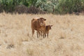 Cow in the field mixed with his calf Royalty Free Stock Photography