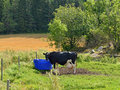 Cow on field near drinkers in finland Royalty Free Stock Photo