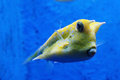 Cow fish picture of yellow in an aquarium Stock Photo