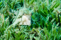 Cow fish in sea grass Royalty Free Stock Images