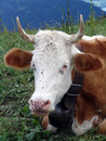 Cow with flies portrait of in mountains Royalty Free Stock Image