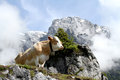 Cow on foggy mountain digital photo of a uppon a in the austrian alps near the with the name hochkoenig Stock Images