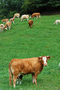 Cow in Foreground Royalty Free Stock Image