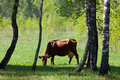 The cow on the fringe of the forest Stock Images