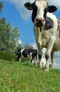 Cow from Frog Perspective Royalty Free Stock Photography