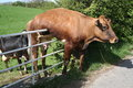 Cow and Gate. Royalty Free Stock Photo