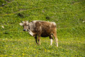 A cow on the grassland Royalty Free Stock Photography