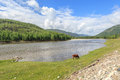 The cow is grazed on the bank of the mountain river coast a summer landscape Stock Photos