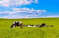 Cow grazes Stock Photos