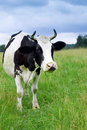 A cow grazes in a field Stock Photos