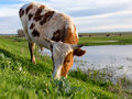 A cow grazes on a green meadow near a lake Royalty Free Stock Photo