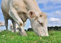 Cow grazing close up of a in the meadow grass Stock Photo