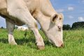 Cow grazing close up of a in the meadow grass Royalty Free Stock Photography