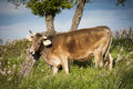Cow grazing in a field where grass abounds Royalty Free Stock Photo