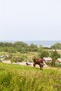 Cow grazing on a hill in the background of Pereslavl-Zalessky and of lake Pleshcheyevo. Russia. Royalty Free Stock Photo