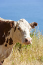 Cow grazing at the meadow on the cliffs of the shoreline pacific ocean Stock Image