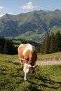 Cow Grazing in Switzerland Stock Photo
