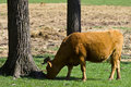 Cow grazing by trees Royalty Free Stock Images