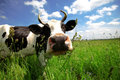 Cow in green field Royalty Free Stock Photos