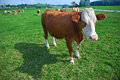 Cow on green field Royalty Free Stock Images