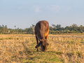 Cow on green field meadow. Royalty Free Stock Photo