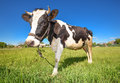 Cow on the green field Royalty Free Stock Photo