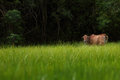 Cow on green grass field. Royalty Free Stock Photo