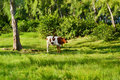 Cow on green grass near trees Royalty Free Stock Images