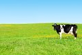 Cow on a green meadow. Royalty Free Stock Photo