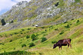 Cow on a green pasture in the mountains Stock Photos