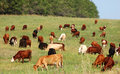 Cow herd Royalty Free Stock Photo