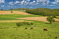Cow herd in green landscape of cows under blue sky Royalty Free Stock Photos