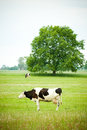 Cow herding on green natural grass field Royalty Free Stock Photo