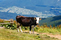 Cow on high mountain carpatian meadow sunny Royalty Free Stock Images