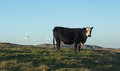 Cow on hill beef a with a wind farm in the background Stock Images