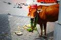 Cow at Hindu Party Royalty Free Stock Photo