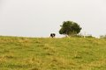 Cow horizon one grazing on grass Stock Photography