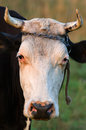 Cow with horns Royalty Free Stock Photos
